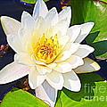 Serenity In White - Water Lily by Dora Sofia Caputo Photographic Design and Fine Art