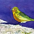 Serinus  Canaria  Aka The Canary by Donna Walsh