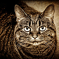 Serious Tabby Cat by Andee Design