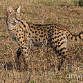Serval Cat 3 by Chris Scroggins