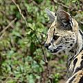 Serval Cat by Ian Ashbaugh