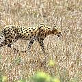 Serval Cat - Kenya by Aidan Moran