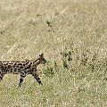 Serval Hunting by Ian Ashbaugh