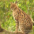 Serval Leptailurus Serval by Liz Leyden