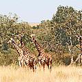 Seven Masai Giraffes by Liz Leyden