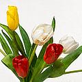 Seven Tulips - Four Colors by Alexander Senin