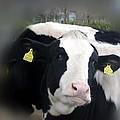 Sexy Cow by Dennis Ward