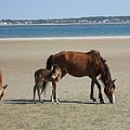 Shackleford Banks Foal by Marty Fancy