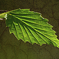 Shadows And Light Of The Leaf by Sandi OReilly
