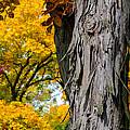 Shagbark Hickory Tree by Robert Storost