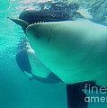 Shamu Was  1965-1971 Orca Sea World California 1968 by California Views Archives Mr Pat Hathaway Archives