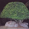 Shaped Tree by Robert Floyd