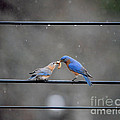 Sharing A Meal - Bluebirds by Jai Johnson