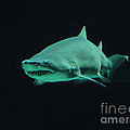 Shark-09441 by Gary Gingrich Galleries