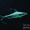 Shark-09451 by Gary Gingrich Galleries