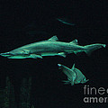 Sharks-09433 by Gary Gingrich Galleries