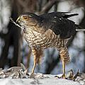 Sharp-shinned Hawk And Feather by Richard Kitchen