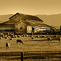 Sheep And Barn by Along The Trail