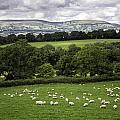 Sheep And More Sheep by Fran Gallogly