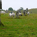 Sheep And Stones At Avebury by Denise Mazzocco