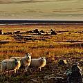 Sheep At Sundown  by Sarah Pemberton