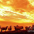 Sheep At Sunrise by Thomas R Fletcher