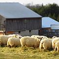 Sheep by Frideswide Photographycom