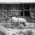 Sheep by Dan Young