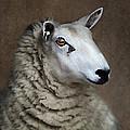 Sheep by Darren Fisher