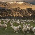 Sheep Flock At Dawn Arrowtown Otago New by