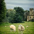 Sheep Grazing By Castle by Jill Battaglia