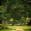 Sheep Grazing by Jill Battaglia
