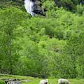 Sheep In A Grassy Mountain Field by Brandon Huttenlocher