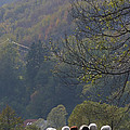 Sheep In A Line by Phil Banks