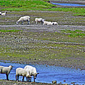 Sheep In Branch-nl by Ruth Hager