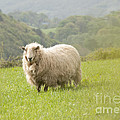 Sheep In Pasture by Juli Scalzi