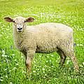 Sheep In Summer Meadow by Elena Elisseeva