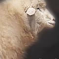 Sheep by Jill Battaglia