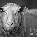 Sheep by Maurizio Bacciarini