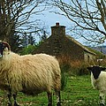 Sheep Of Donegal Ireland by Jeannie Allerton