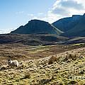 Sheep On Grassland Highlands Scotland Uk by Matteo Colombo