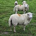 Sheep On Parade by Fran Gallogly