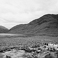 sheep on rough ground Doulough County Mayo by Joe Fox
