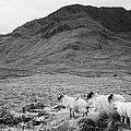 sheep on rough ground Doulough by Joe Fox
