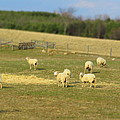Sheep Out And About by Frideswide Photographycom