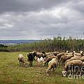 Sheep Pasturing by Carlos Caetano