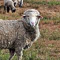 Sheep Portrait by Kim Clark