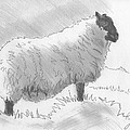 Sheep Sketch by Mike Jory