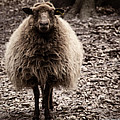 Sheep Stare by Roger Wedegis