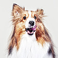 Sheep The Sheltie by Joy Hsieh